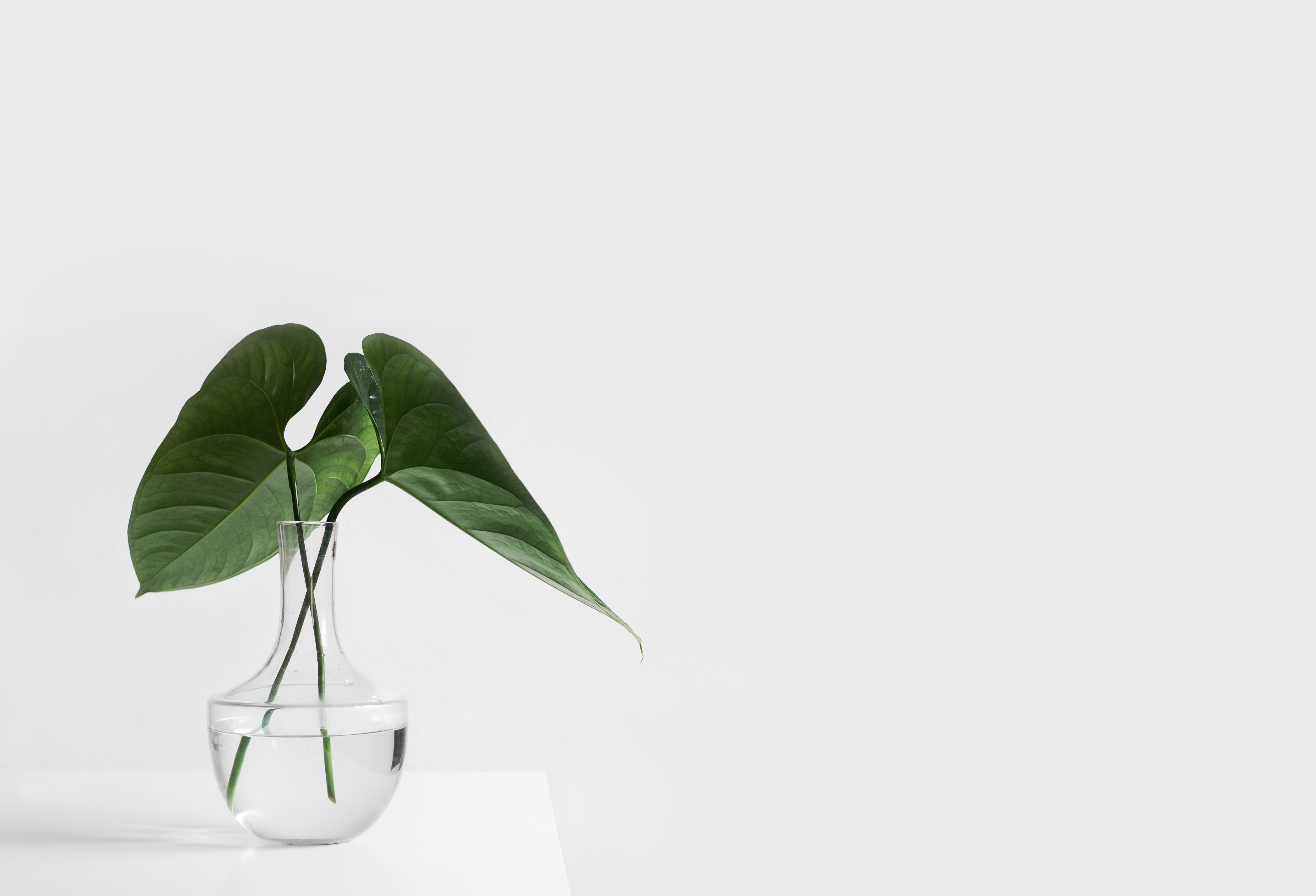 green leafed elephant ear plant in a clear glass on a white background